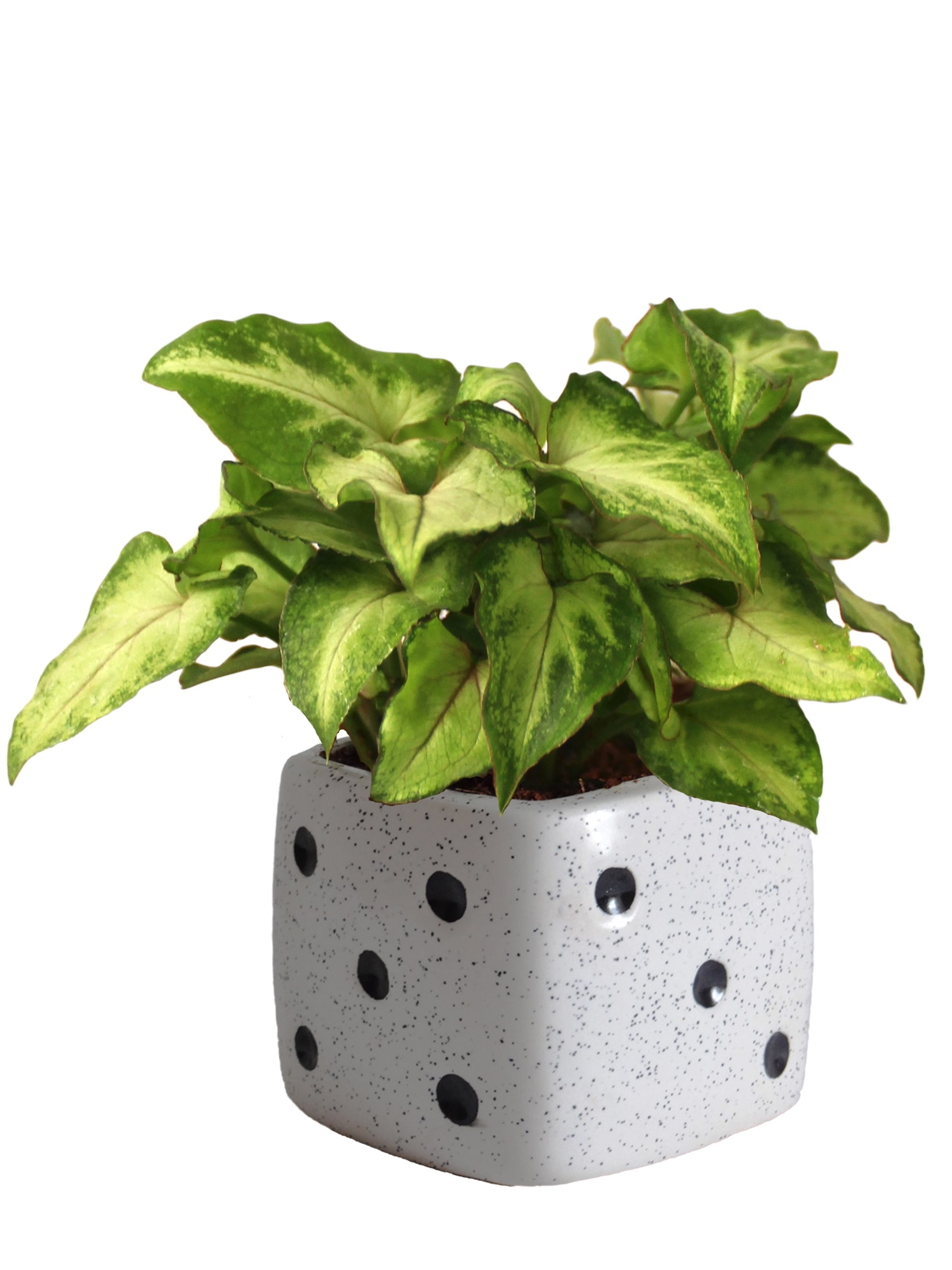 Good Luck Air Purifying Green Syngonium Plant In White Dice Ceramic Pot