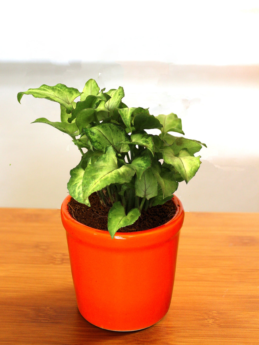 Good Luck Air Purifying Green Syngonium Plant In Orange Jar Ceramic Pot