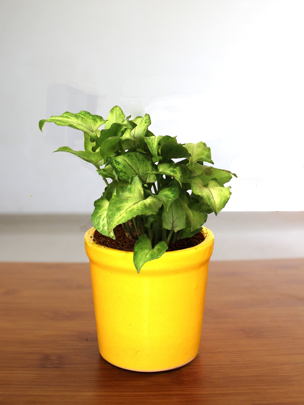 Good Luck Air Purifying Green Syngonium Plant In Yellow Jar Ceramic Pot