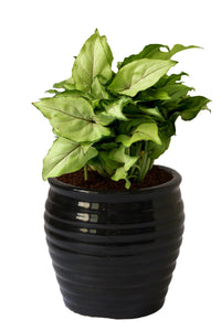 Rolling Nature Good Luck Air Purifying Green Syngonium Plant In Black Ceramic Pot