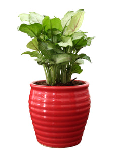 Rolling Nature Good Luck Air Purifying Live Green Syngonium Plant in Red Ceramic Pot