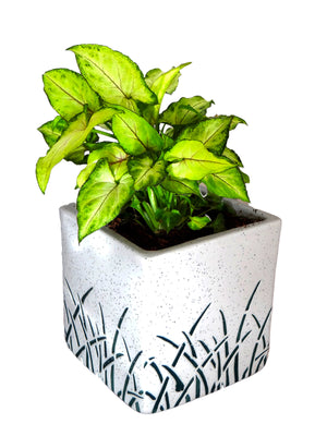 Good Luck Green Syngonium in White Cube Aroez Ceramic Pot