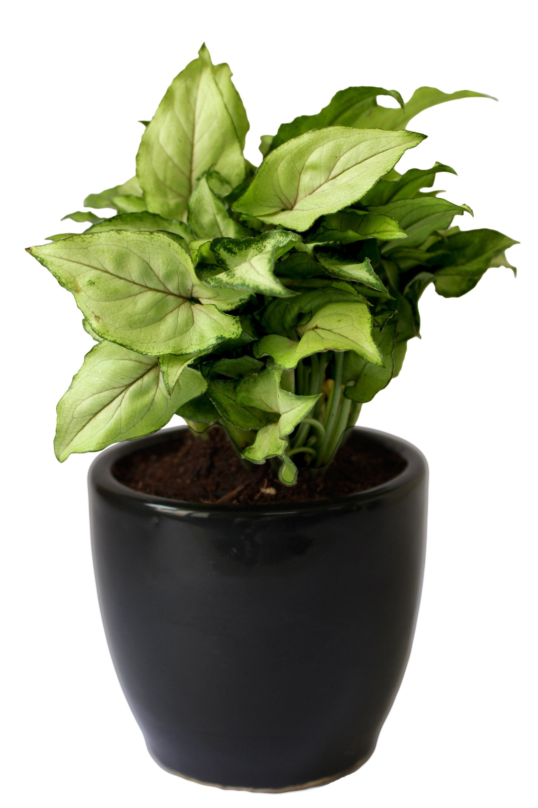Rolling Nature Good Luck Air Purifying Green Syngonium Plant In Black Pear Ceramic Pot