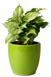 Rolling Nature Good Luck Air Purifying Green Syngonium Plant In  Green Pear Ceramic Pot