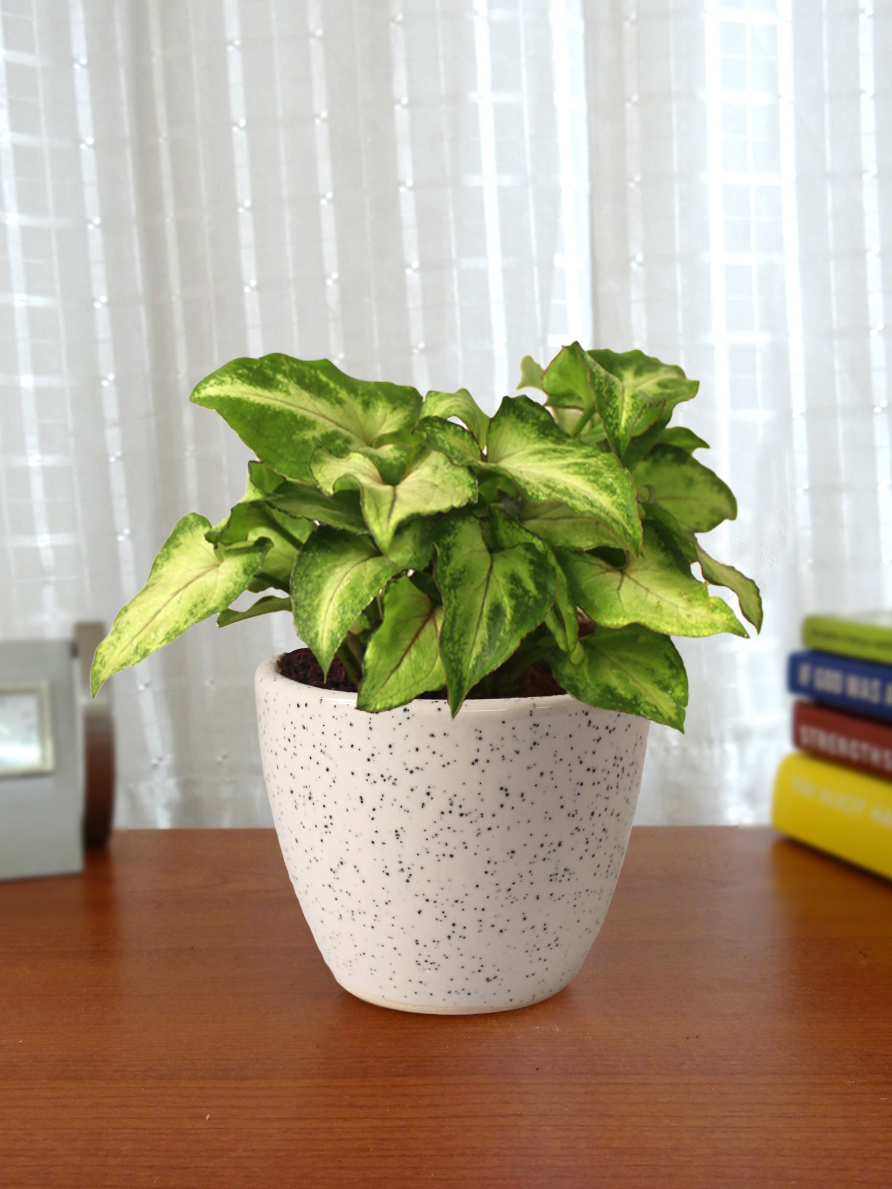 Good Luck Air Purifying Live Green Syngonium Plant in White Round Dew Ceramic Pot
