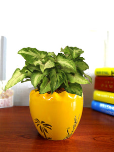 Good Luck Air Purifying Live Green Syngonium Plant in Yellow Ruffel Aroez Ceramic Pot