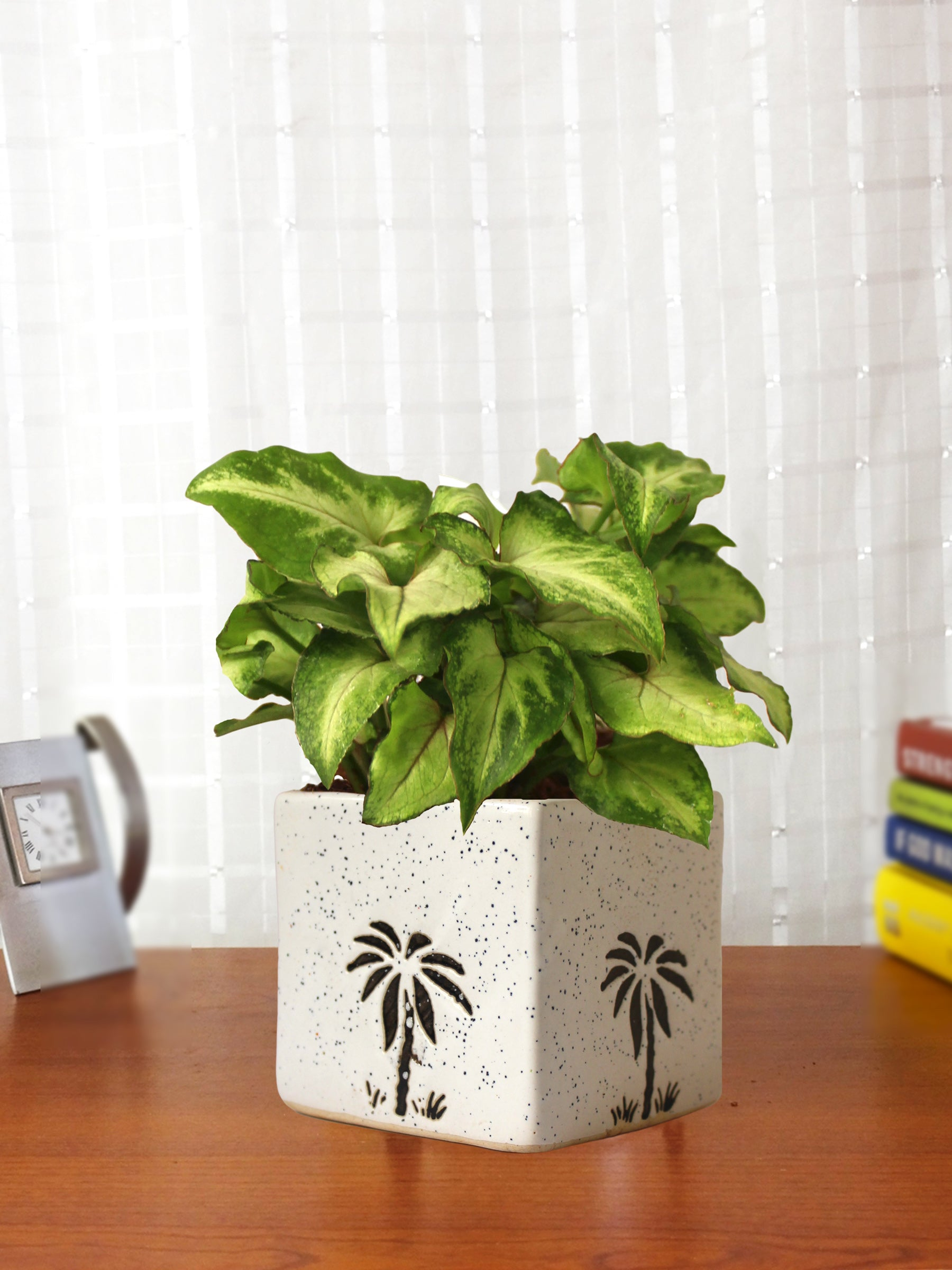 Good Luck Air Purifying Live Green Syngonium Plant in White Square Aroez Ceramic Pot
