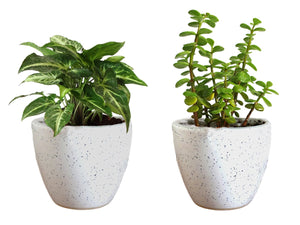 Combo Of Good Luck Live Syngonium Green Plant and Jade Plant in White Round Dew Ceramic Pot
