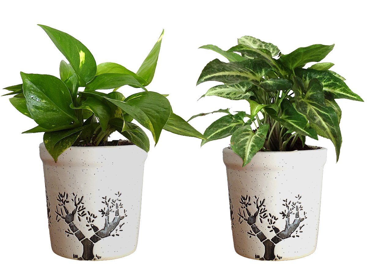 Combo Of Good Luck Air Purifying Live Money Plant and Syngonium Green Plant in White Jar Aroez Ceramic Pot
