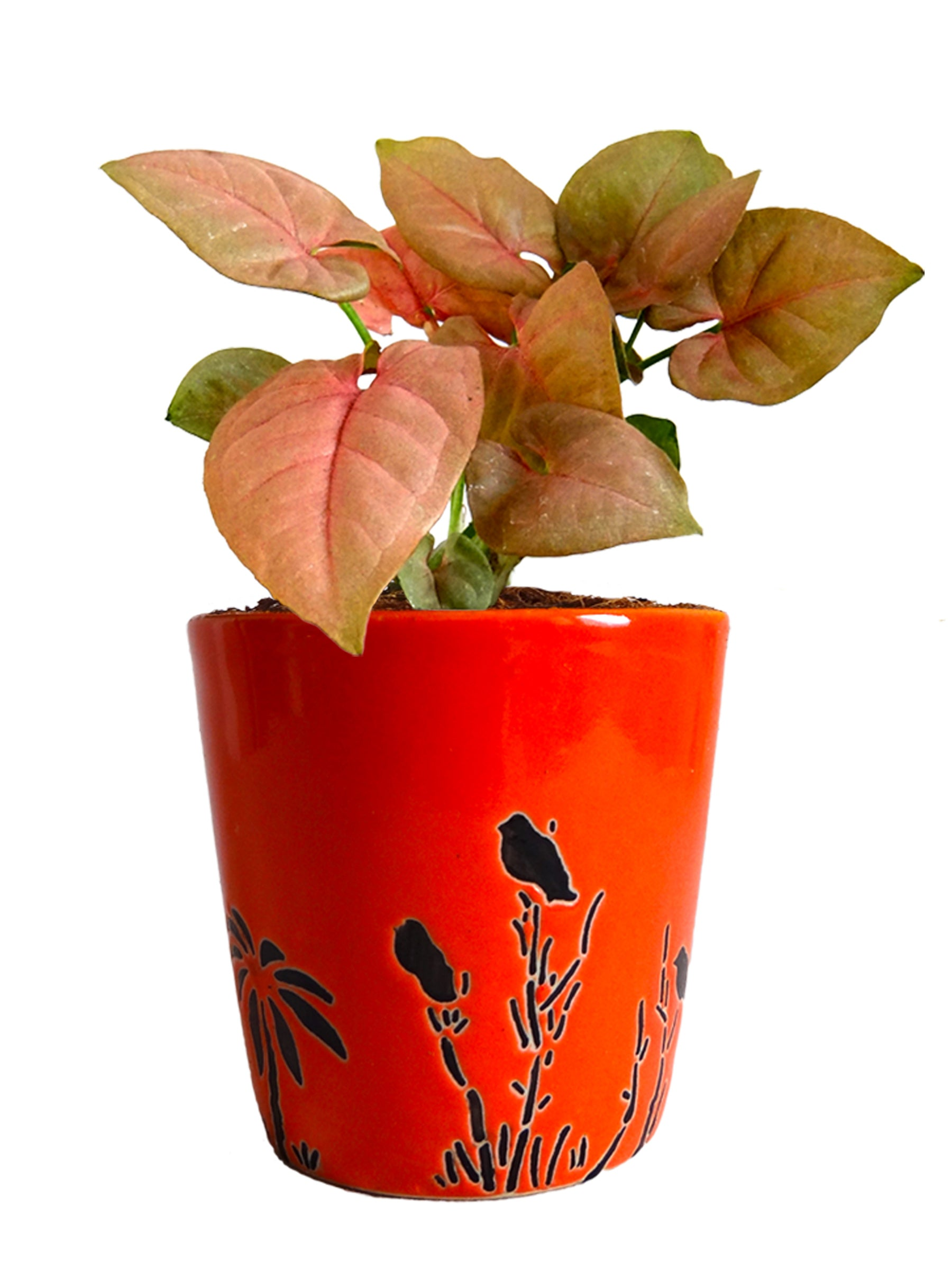 Good Luck Pink Syngonium Plant in Orange Bucket Aroez Ceramic Pot