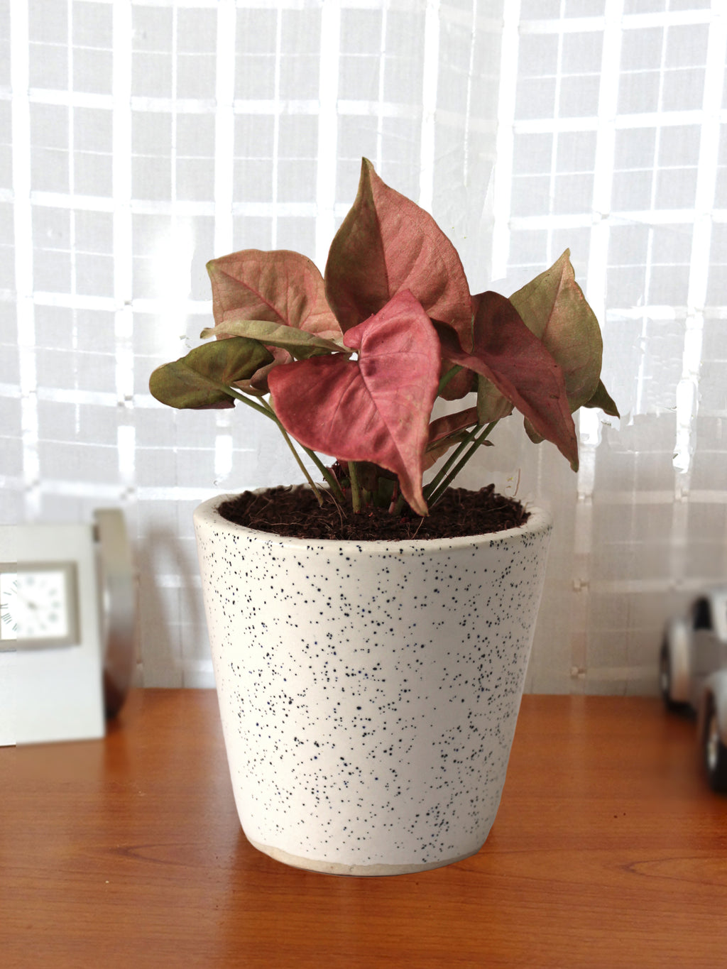 Good Luck  Air Purifying Live Pink Syngonium Plant in White Bucket Dew Ceramic Pot