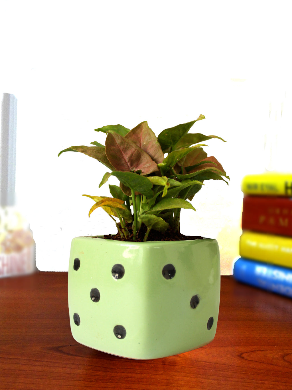 Good Luck Air Purifying Pink Syngonium Plant in Green Dice Ceramic Pot