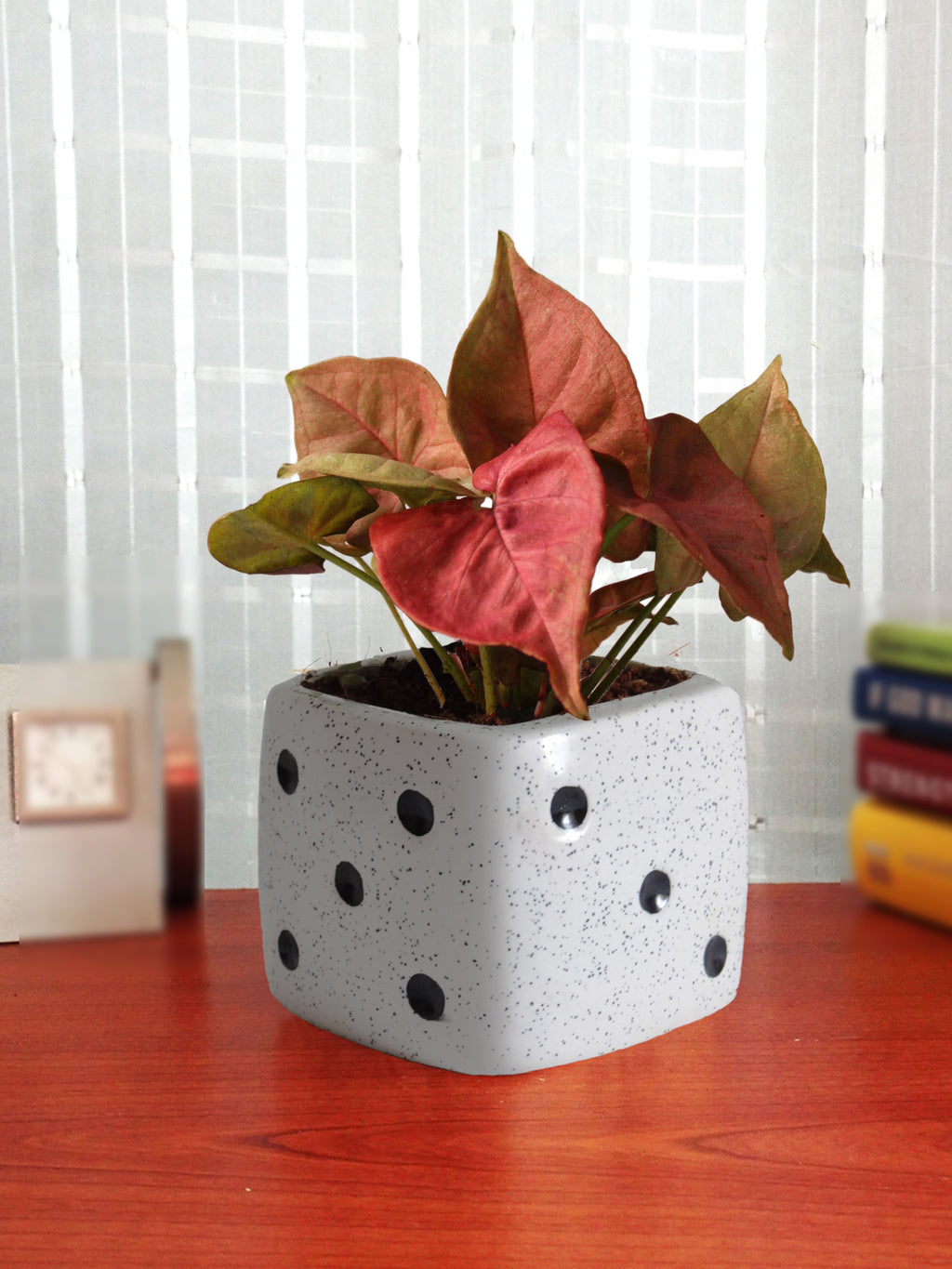 Good Luck Air Purifying Pink Syngonium Plant in White Dice Ceramic Pot
