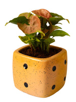 Good Luck Air Purifying Pink Syngonium Plant in Yellow Dice Ceramic Pot