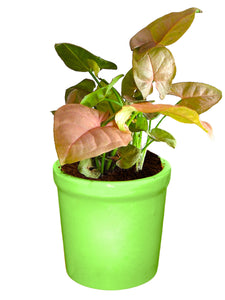Rolling Nature Good Luck Air Purifying Live Pink Syngonium Plant in Green Jar Ceramic Pot