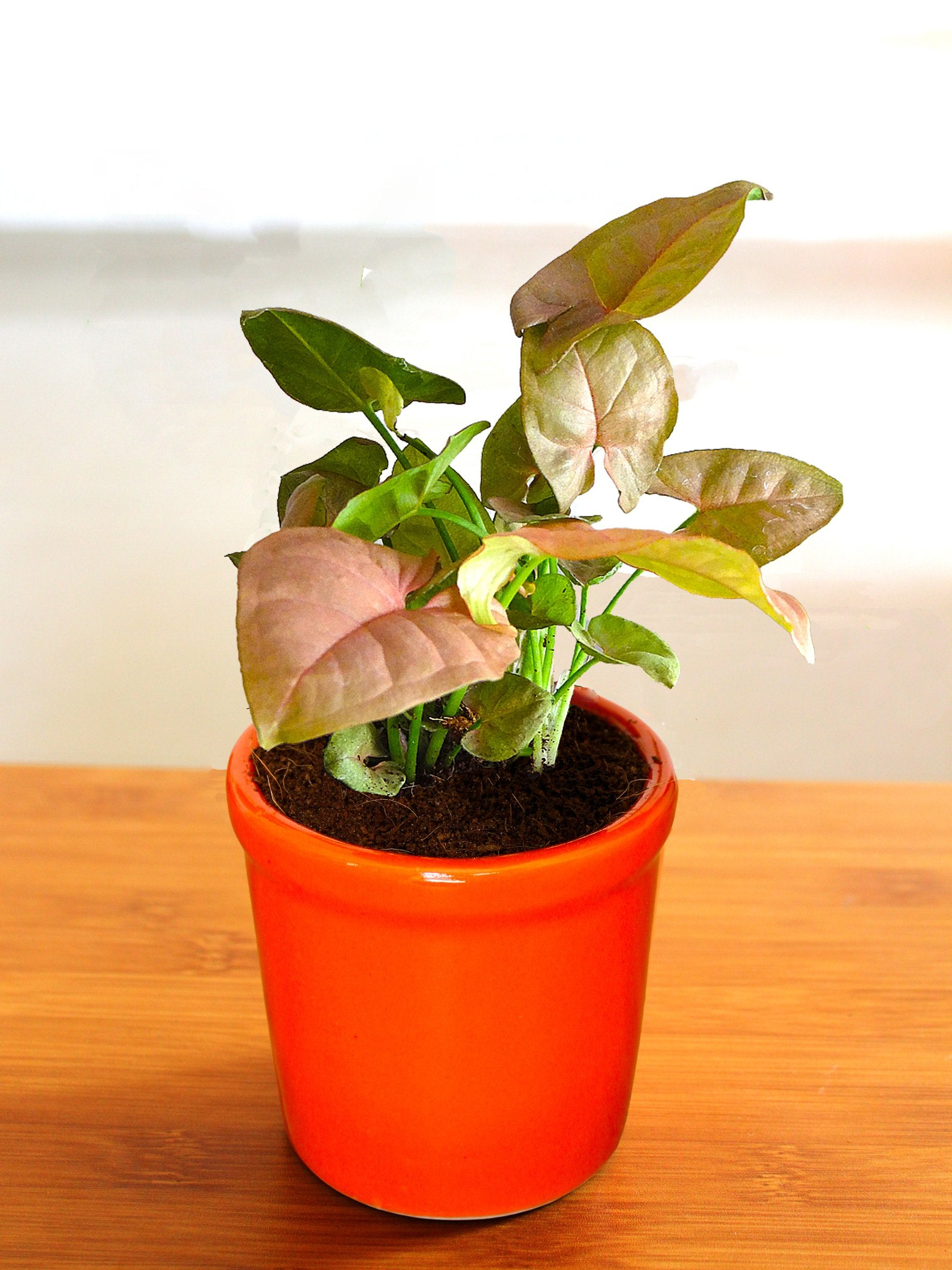 Good Luck Air Purifying Pink Syngonium Plant in Orange Jar Ceramic Pot
