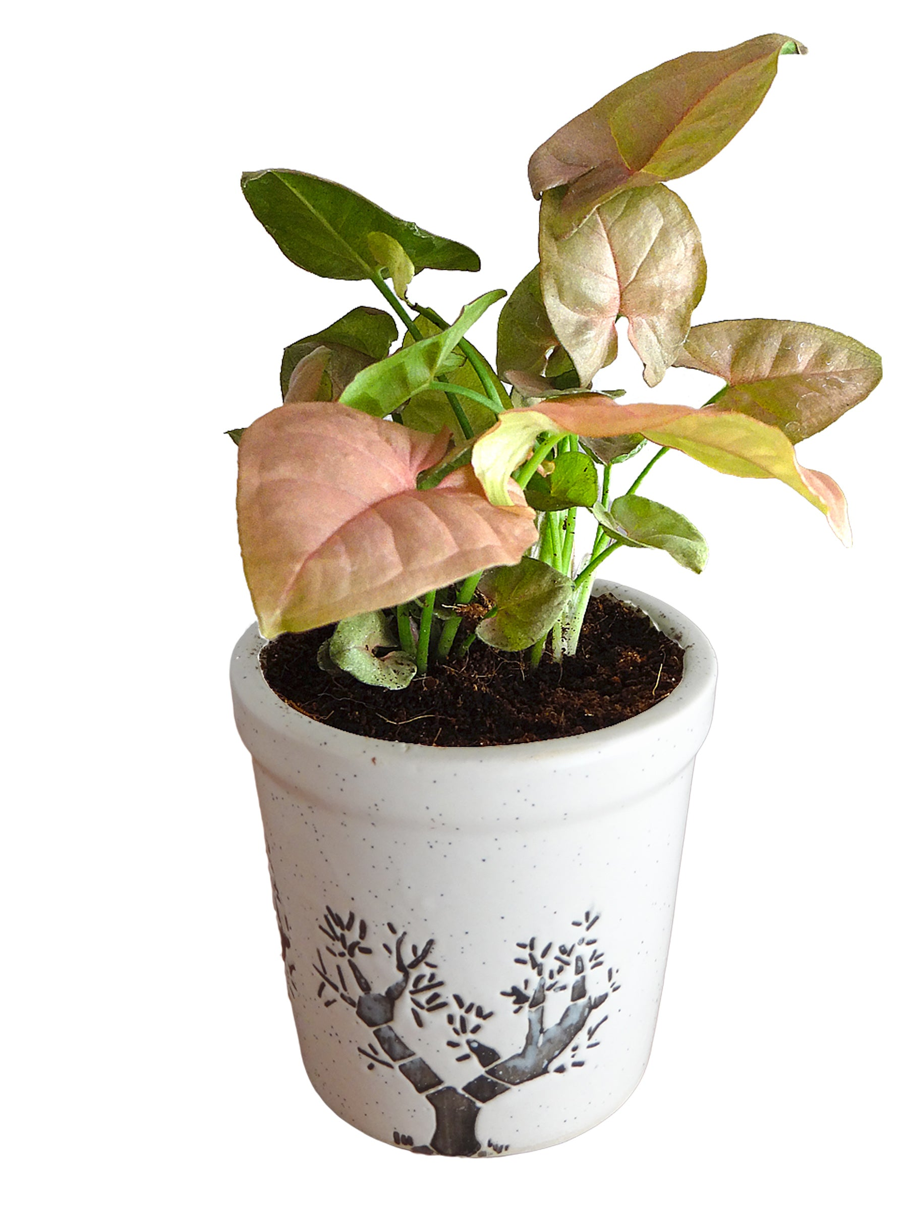 Good Luck Pink Syngonium Plant in White Jar Aroez Ceramic Pot