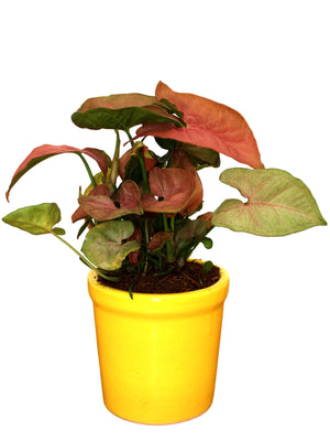 Good Luck Air Purifying Pink Syngonium Plant in Yellow Jar Ceramic Pot