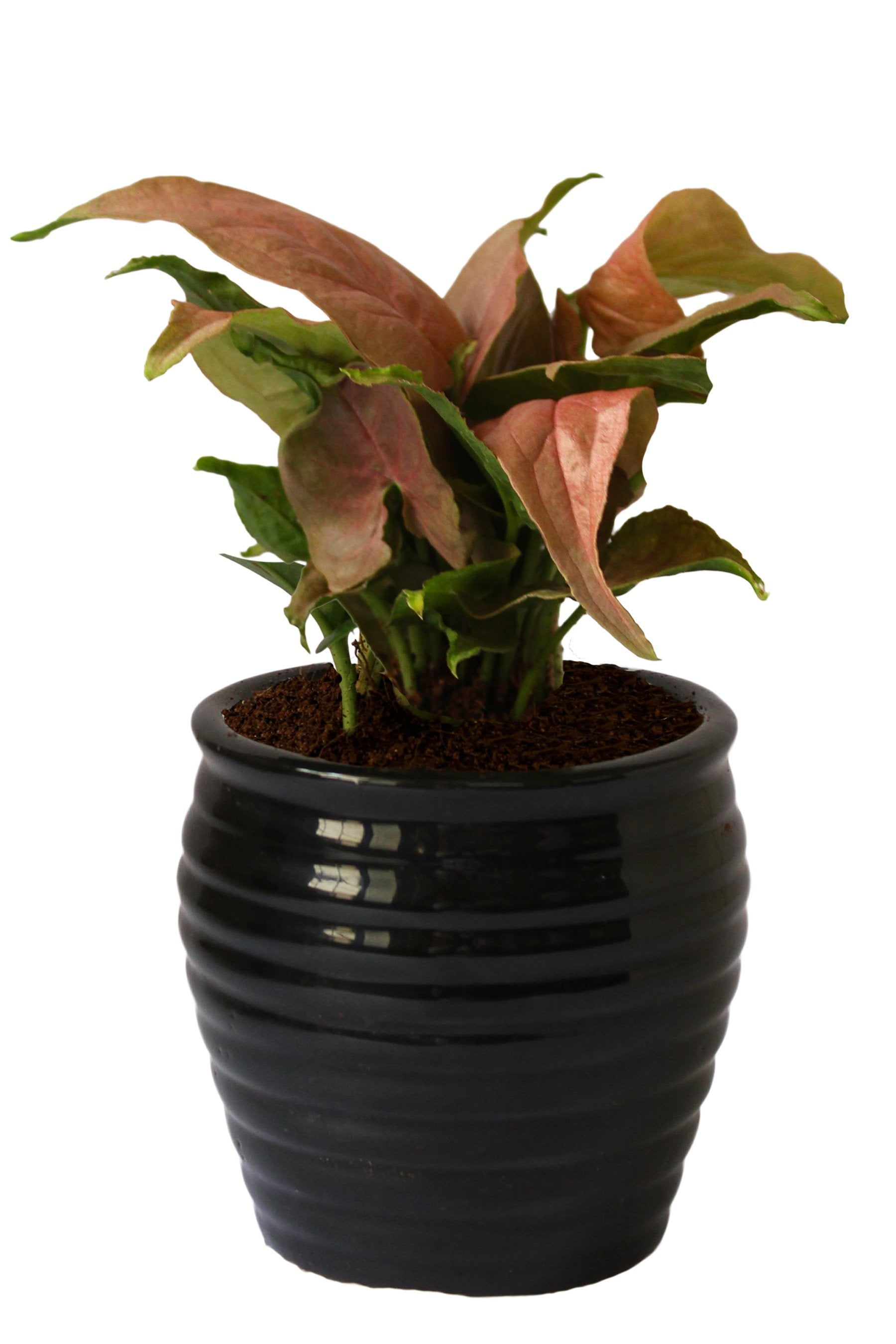 Rolling Nature Good Luck Air Purifying Pink Syngonium Plant in Black Ceramic Pot