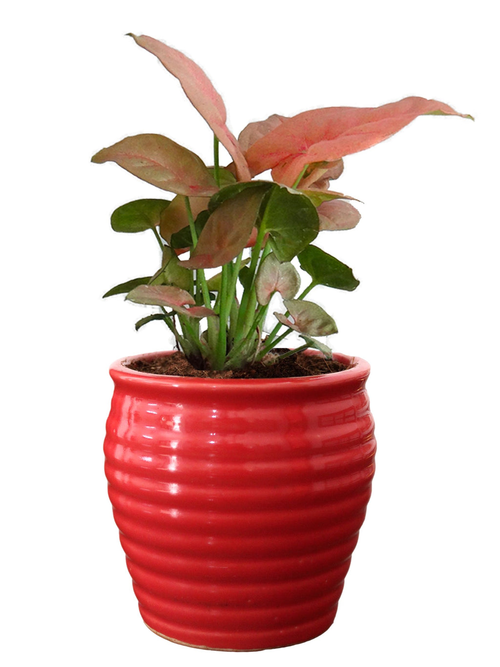 Rolling Nature Good Luck Air Purifying Live Pink Syngonium Plant in Red Ceramic Pot