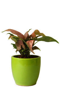 Rolling Nature Good Luck Air Purifying Pink Syngonium Plant in Green Pear Ceramic Pot