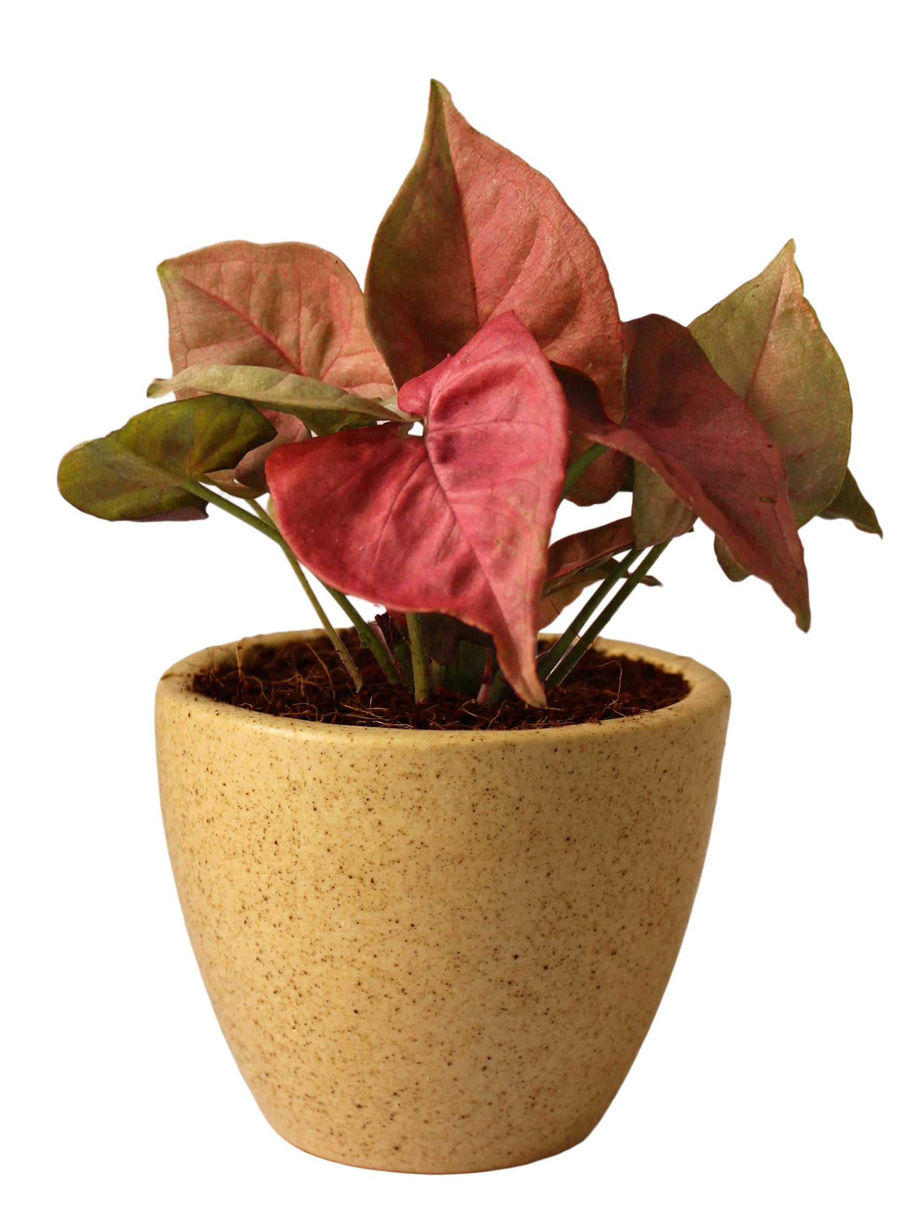 Good Luck Pink Syngonium Plant in Brown Round Dew Ceramic Pot