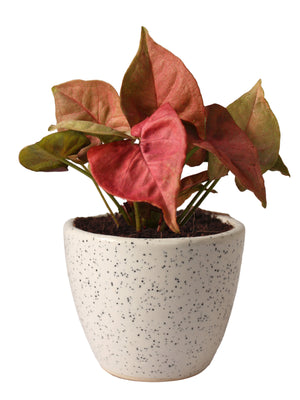 Good Luck Pink Syngonium Plant in White Round Dew Ceramic Pot