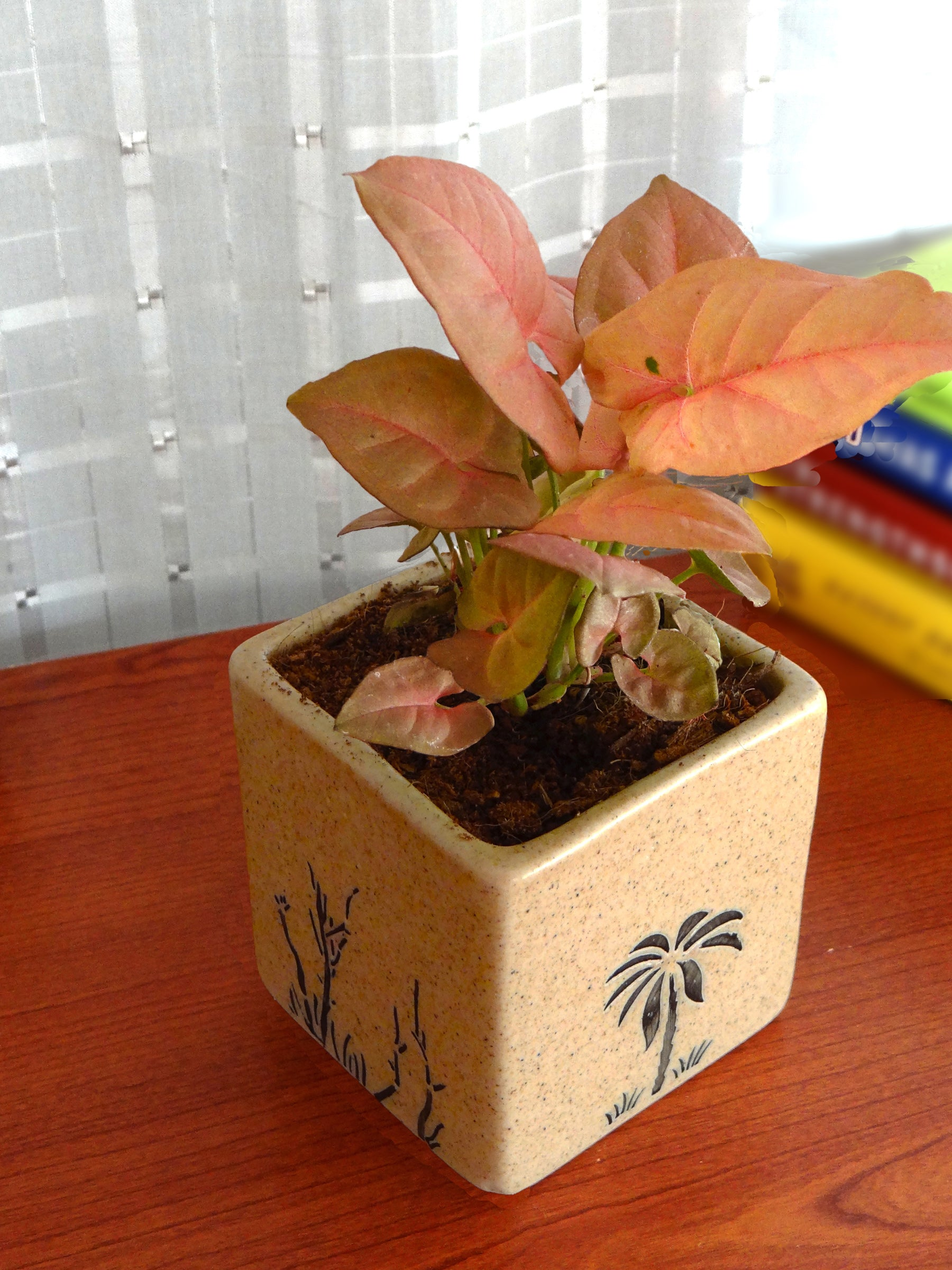 Good Luck Pink Syngonium Plant in Brown Square Aroez Ceramic Pot