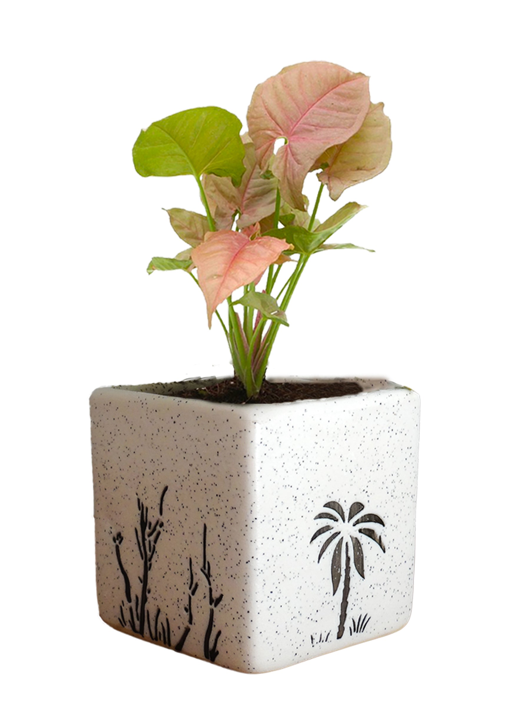 Good Luck Pink Syngonium Plant in White Square Aroez Ceramic Pot
