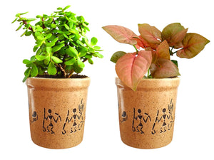Combo Of Good Luck Live Syngonium Pink Plant and Jade Plant in Brown Jar Aroez Ceramic Pot
