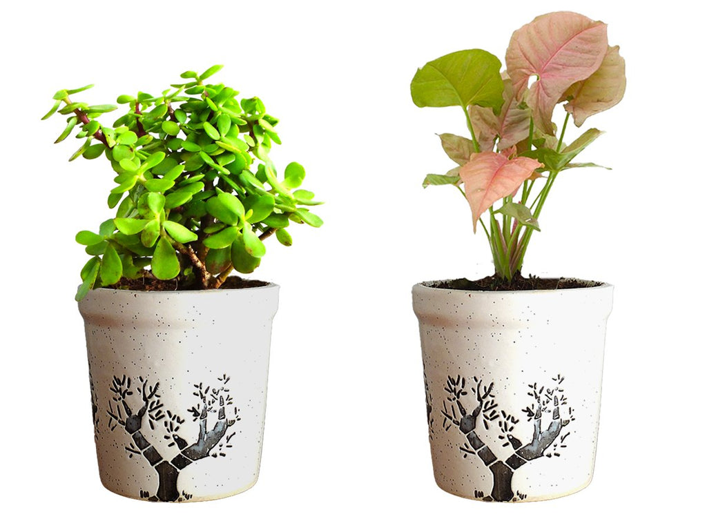 Combo Of Good Luck Live Syngonium Pink Plant and Jade Plant in White Jar Aroez Ceramic Pot