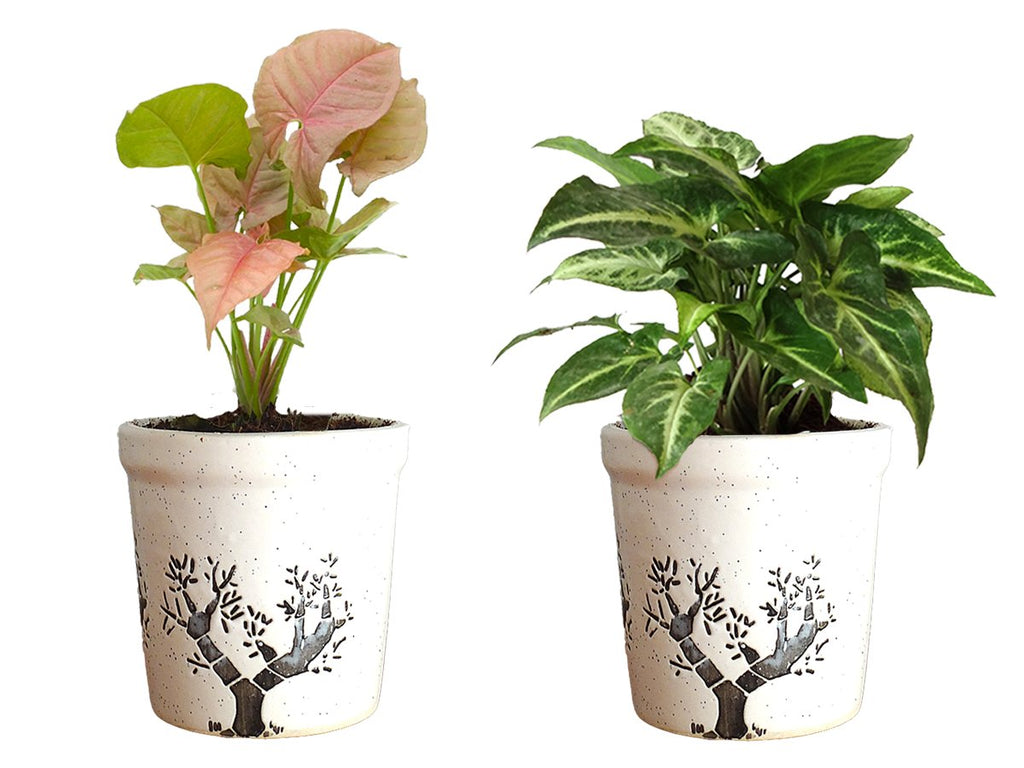 Combo Of Good Luck Air Purifying Live Syngonium Pink and Syngonium Green Plant in White Jar Aroez Ceramic Pot