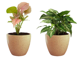 Combo Of Good Luck Air Purifying Live Syngonium Pink and Syngonium Green Plant in Brown Round Dew Ceramic Pot