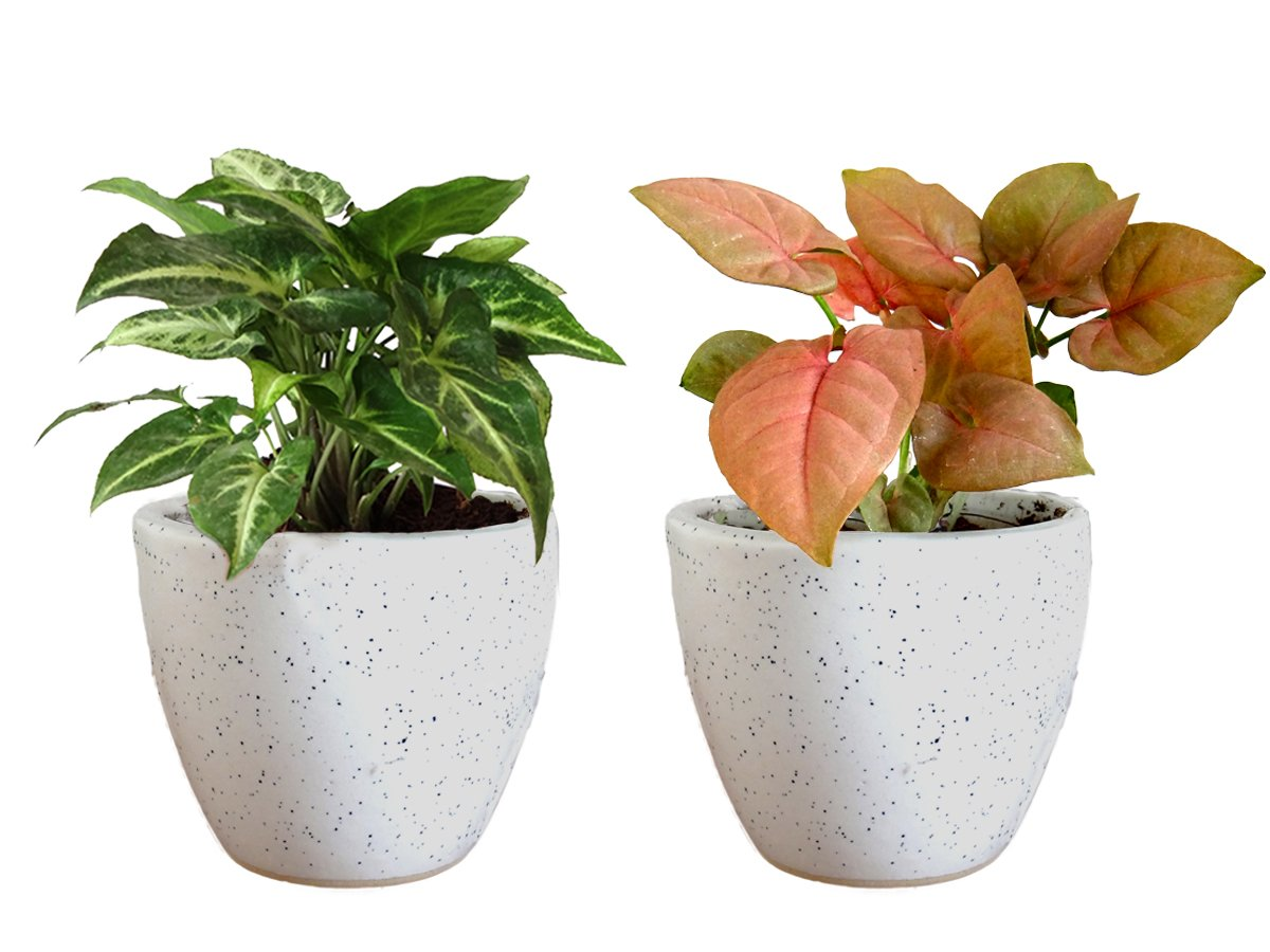 Combo Of Good Luck Air Purifying Live Syngonium Pink and Syngonium Green Plant in White Round Dew Ceramic Pot