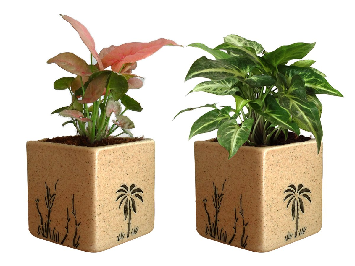 Combo Of Good Luck Air Purifying Live Syngonium Pink and Syngonium Green Plant  in Brown Square Aroez Ceramic Pot