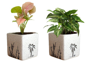 Combo Of Good Luck Air Purifying Live Syngonium Pink and Syngonium Green Plant in White  Square Aroez Ceramic Pot
