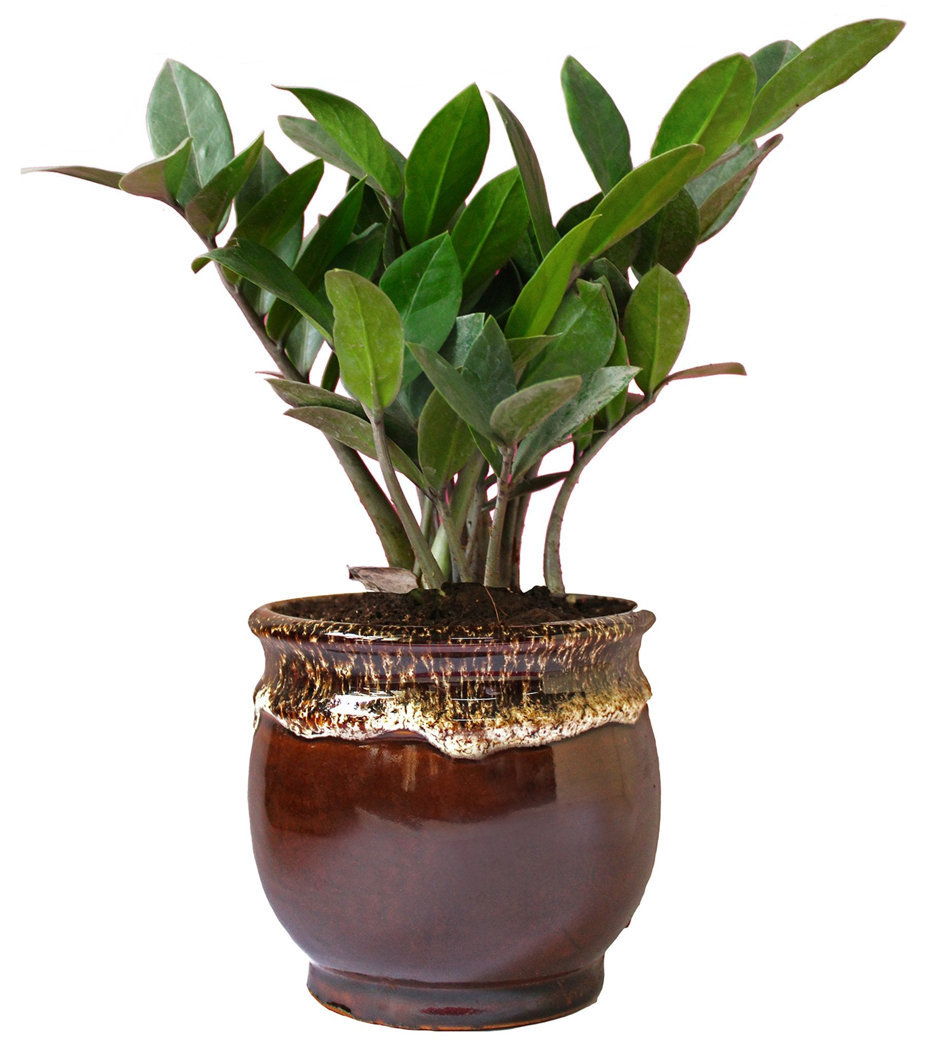 Rolling Nature Exotic Zamia Plant in Brown Drip Glazed Pitcher Ceramic Pot