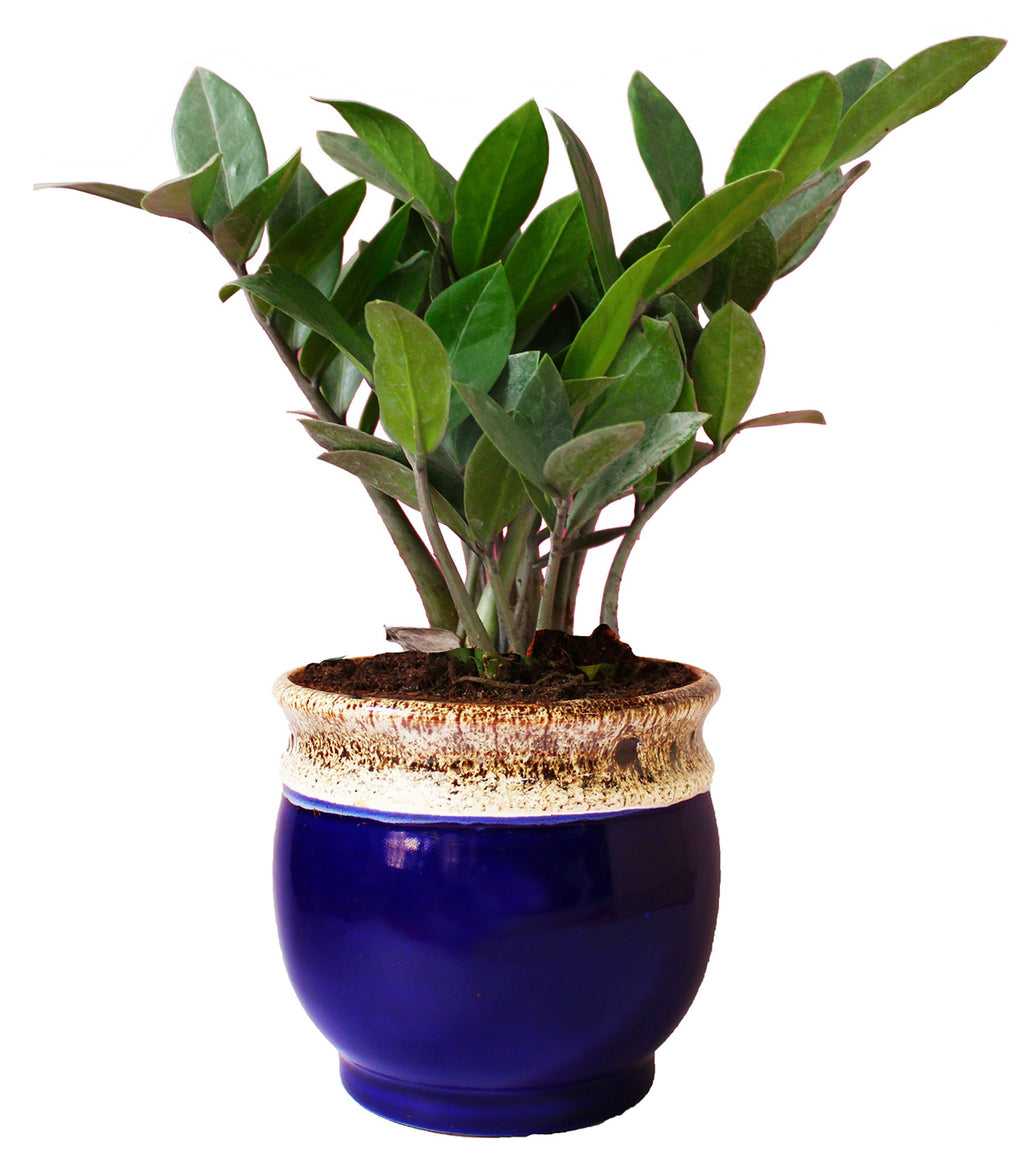 Rolling Nature Exotic Zamia Plant in Blue Drip Glazed Pitcher Ceramic Pot