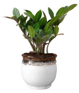 Rolling Nature Exotic Zamia Plant in White Drip Glazed Pitcher Ceramic Pot