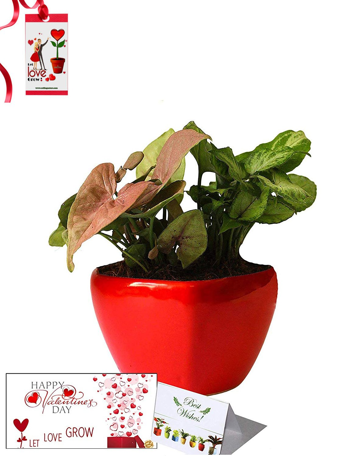 Valentine's Day Combo of Good Luck Air Purifying Syngonium Plants Duet in Red Heart Ceramic Pot