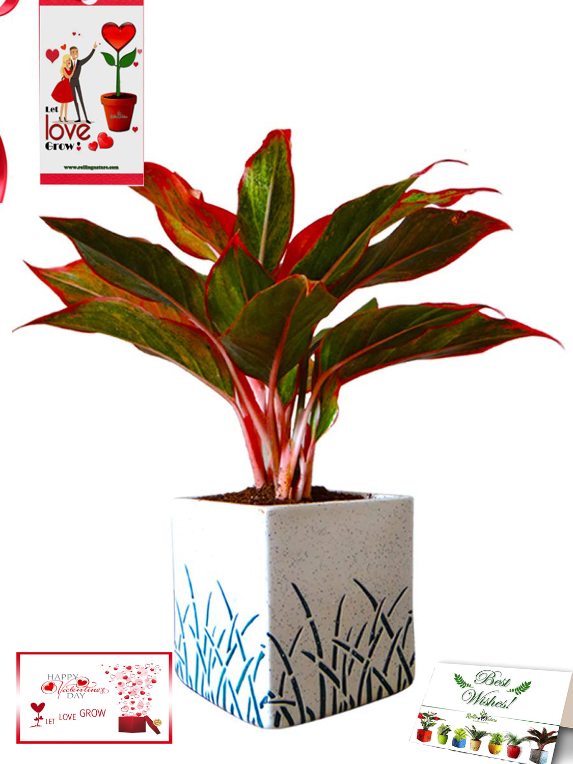 Valentine's Day Combo of Good Luck Air Purifying Red Aglaonema Siam Aurora Chinese Evergreen Plant In White Cube Aroez Ceramic Pot