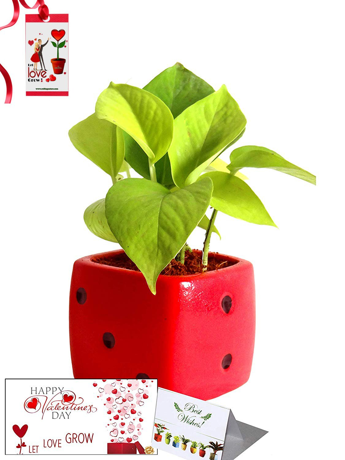 Valentine's Day Combo of Good Luck Air Purifying Golden Money Plant in Red Dice Ceramic Pot