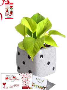 Valentine's Day Combo of Good Luck Air Purifying Golden Money Plant in White Dice Ceramic Pot