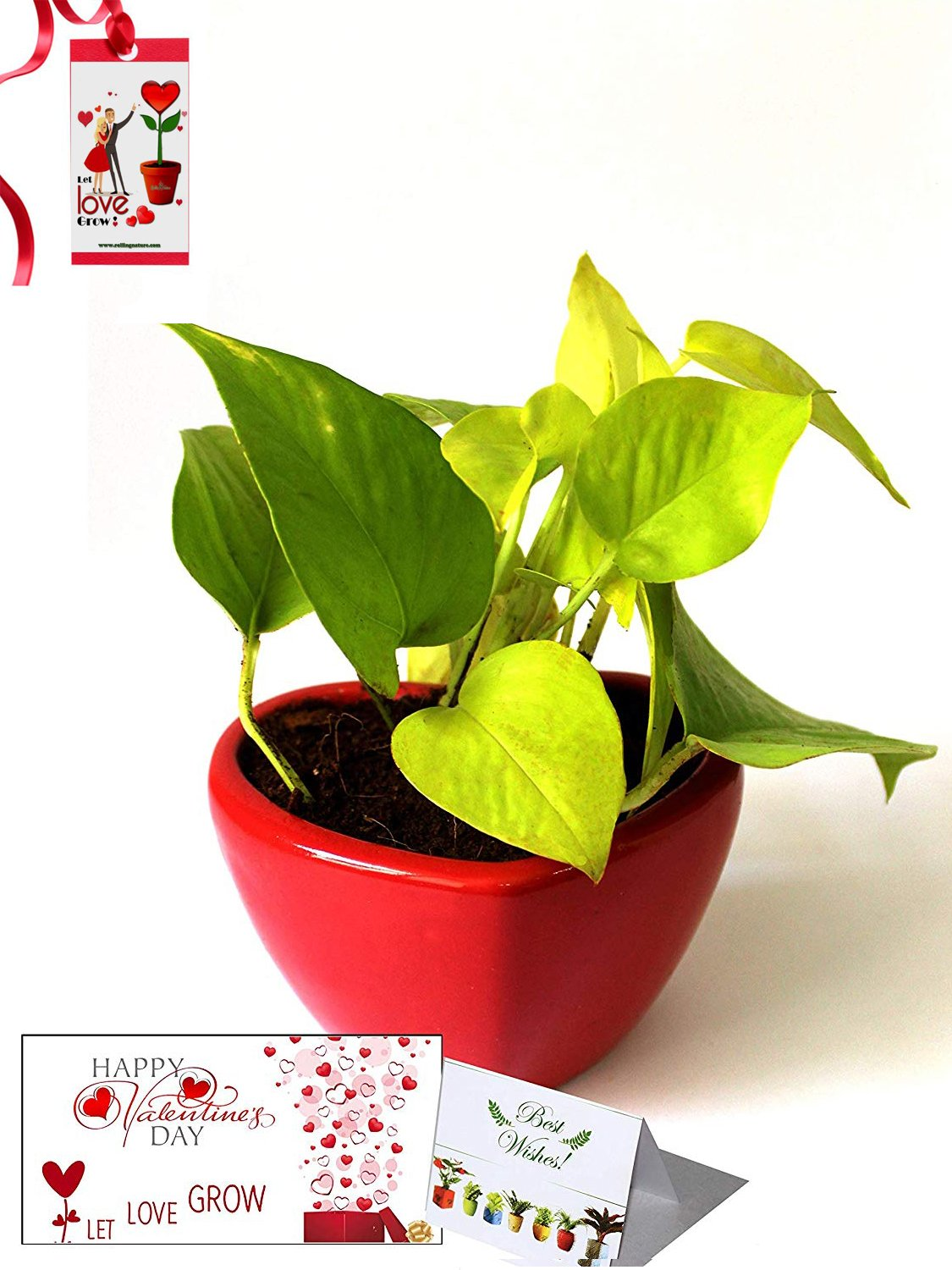 Valentine's Day Combo of Good Luck Air Purifying Golden Money Plant in Red Heart Ceramic Pot