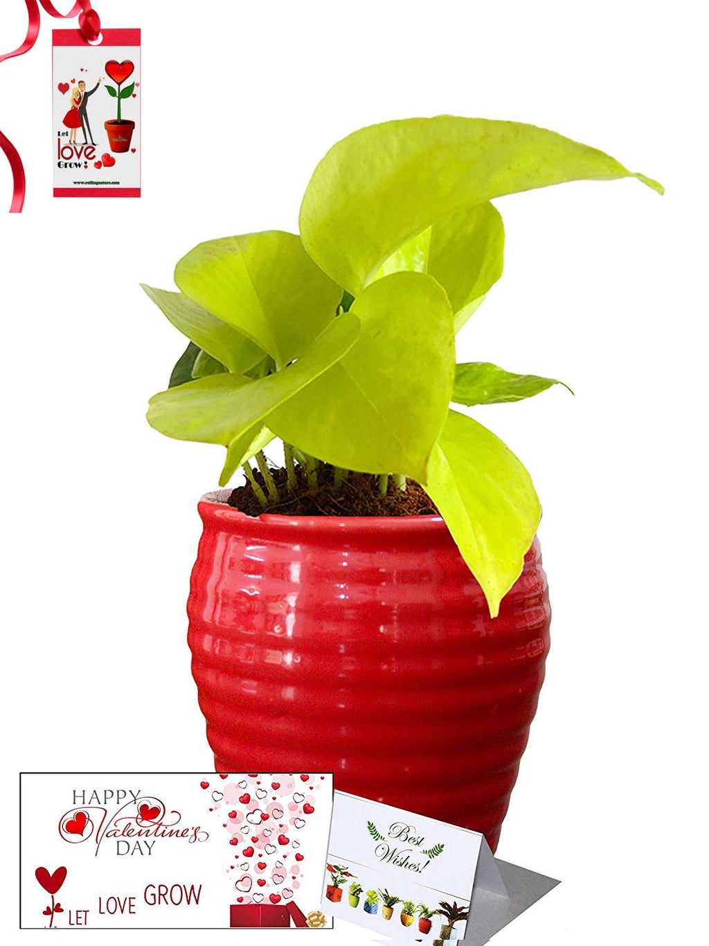 Valentine's Day Combo of Good Luck Air Purifying Golden Money Plant in Red Ceramic Pot