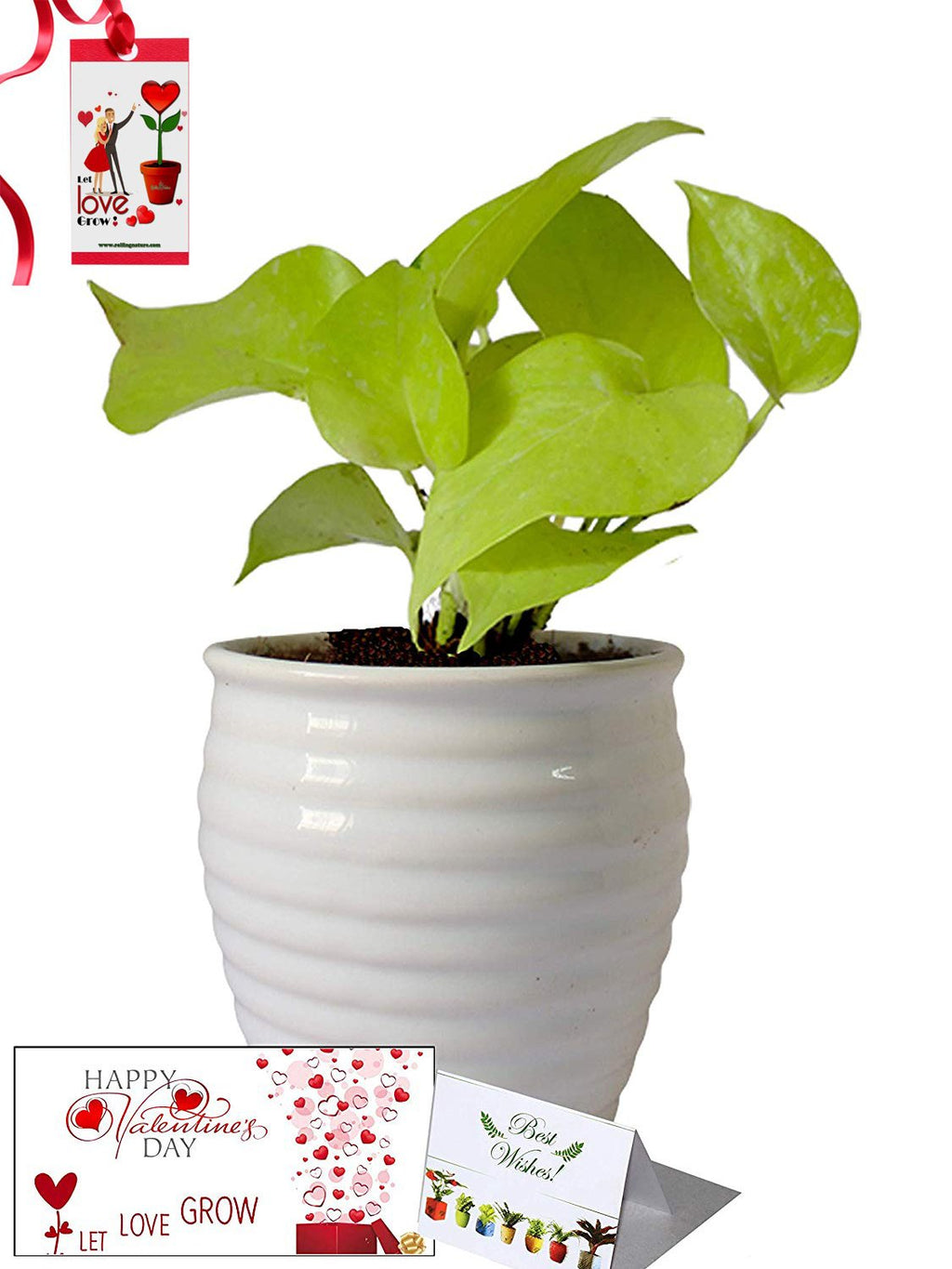 Valentine's Day Combo of Good Luck Air Purifying Golden Money Plant in White Ceramic Pot