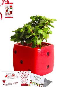 Valentine's Day Combo of Good Luck Air Purifying Jade Plant in Red Dice Ceramic Pot