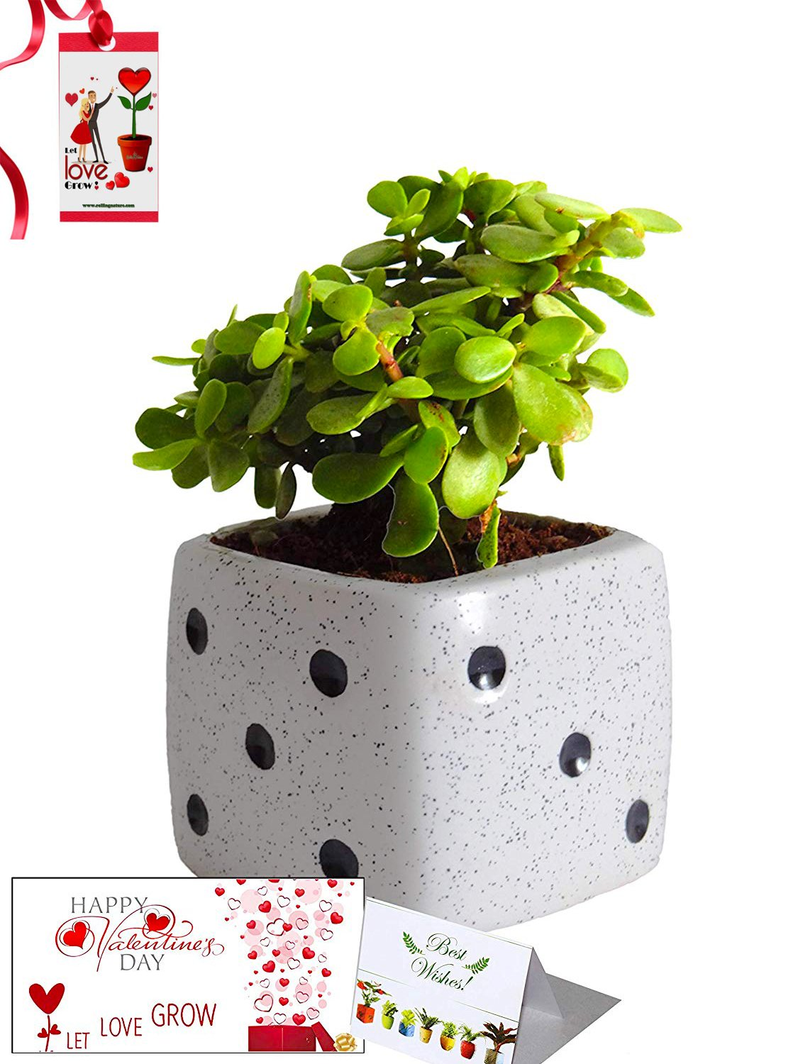 Valentine's Day Combo of Good Luck Air Purifying Jade Plant in White Dice Ceramic Pot