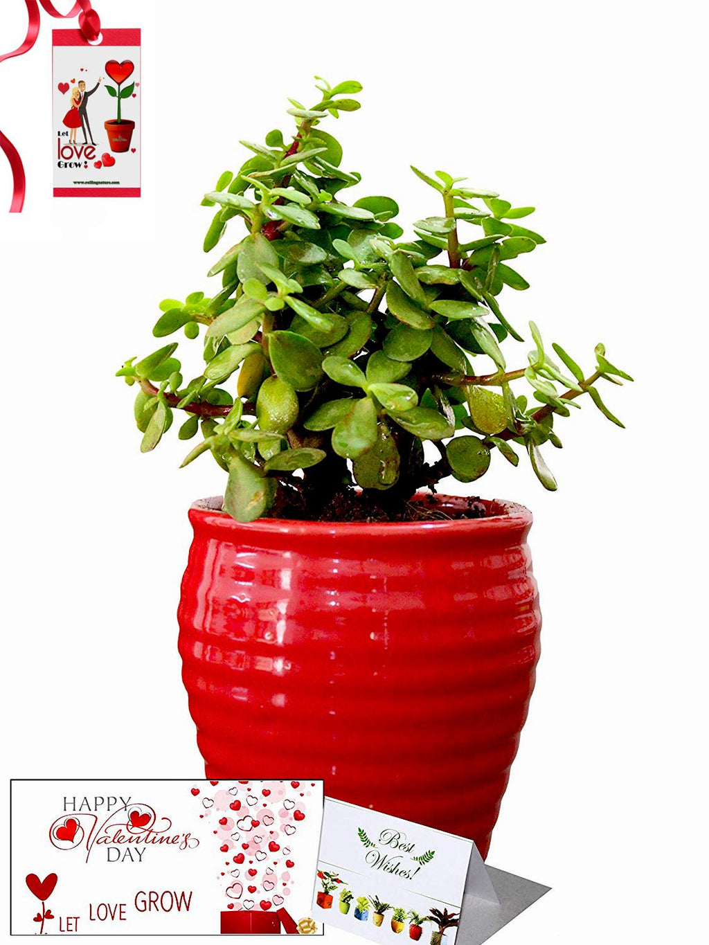 Valentine's Day Combo of Good Luck Air Purifying Jade Plant in Red Ceramic Pot