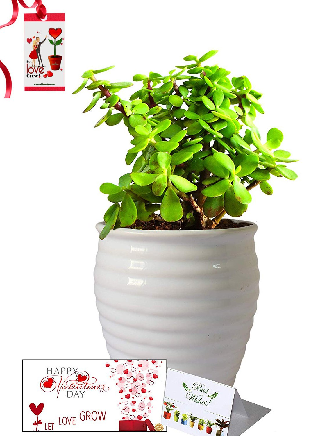 Valentine's Day Combo of Good Luck Air Purifying Jade Plant in White Ceramic Pot